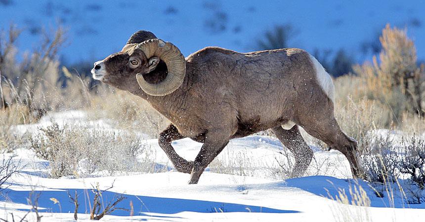 Bighorn ram in winter