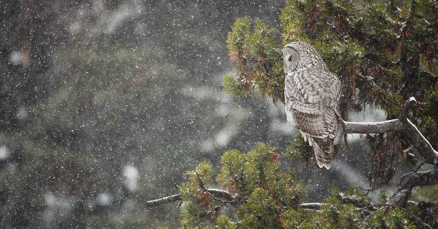 Great gray owl in Yellowstone