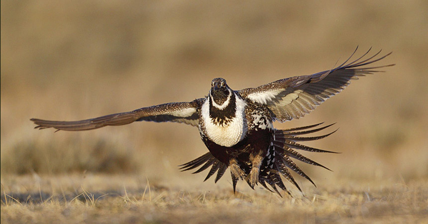 Sage grouse in Wyoming