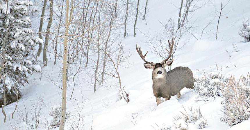 Wyoming mule deer buck in snow