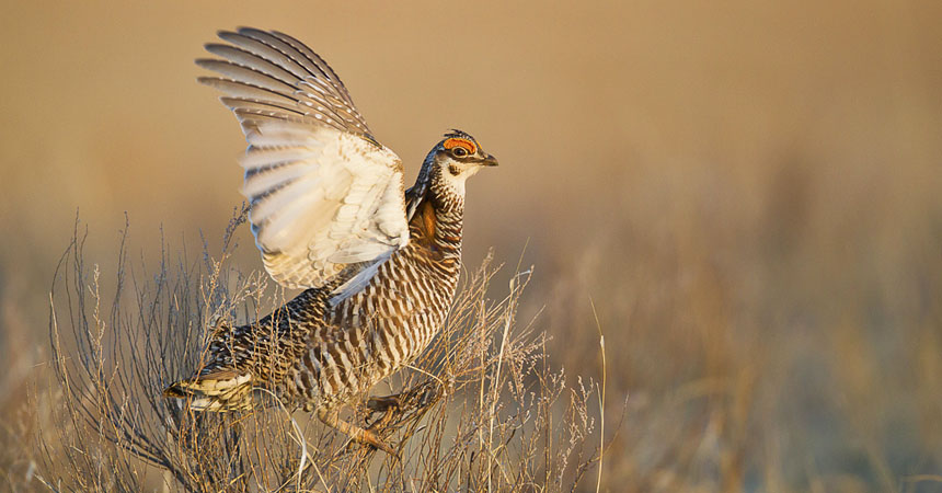 Greater prairie chicken in Colorado