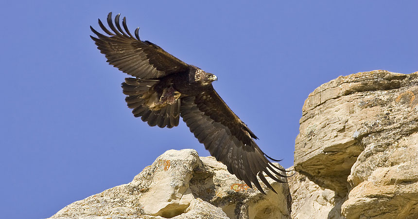 Golden eagle in Wyoming