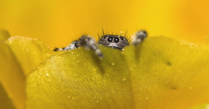Jumping spider on cactus flower