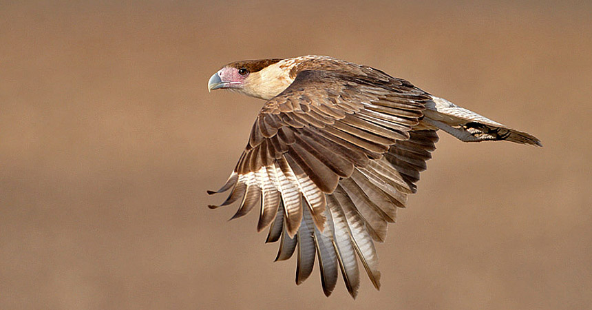 caracara in flight