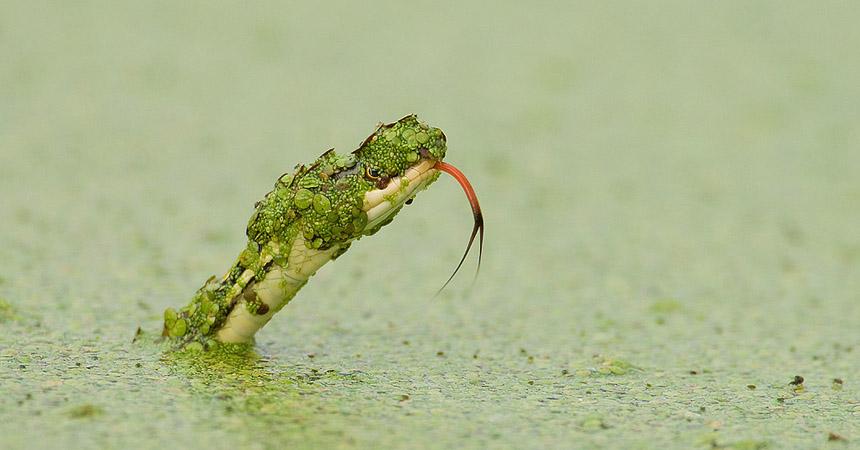 snake in pond
