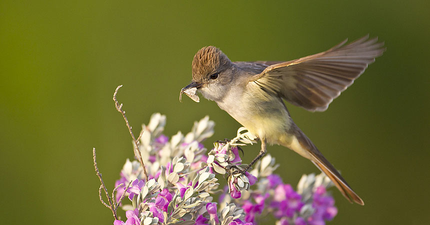 Flycatcher on flowers