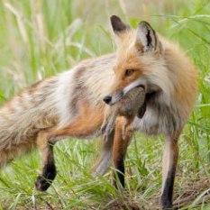 hm-blog-fox
