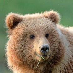 hm-tours-alaska-bear