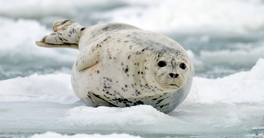 Harbor seal on ice in Alaska