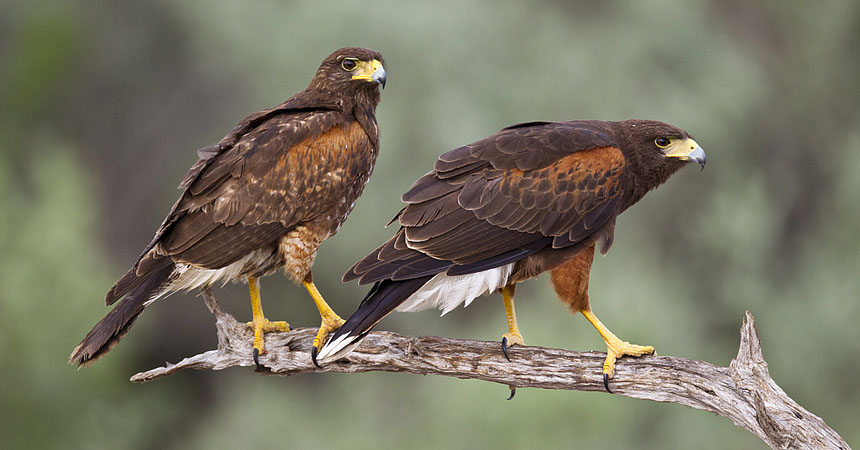 Pair of harris hawks in Texas
