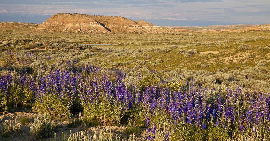 Wildflowers in the Bighorn Basin of Wyoming