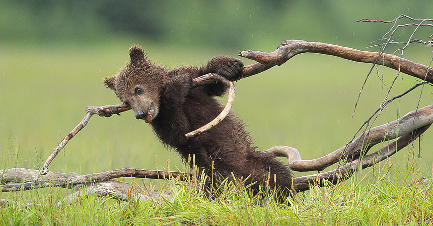 Brown bear cub in Alaska
