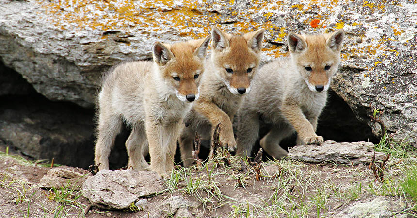 Coyote pups in Yellowstone