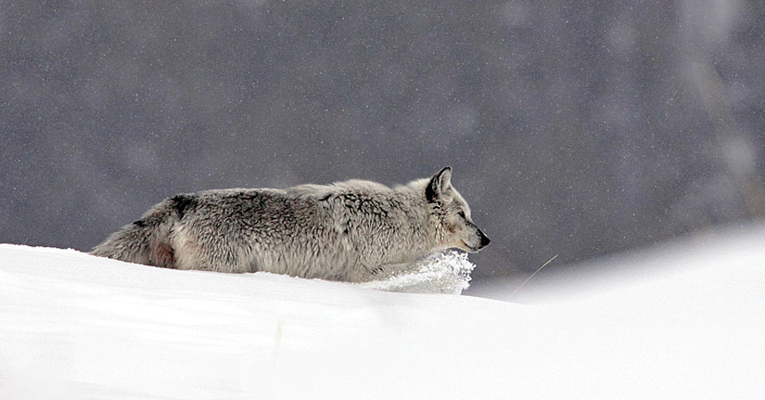 Wolf in snowstorm in Yelllowstone