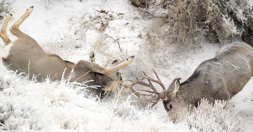Fighting mule deer bucks in Wyoming