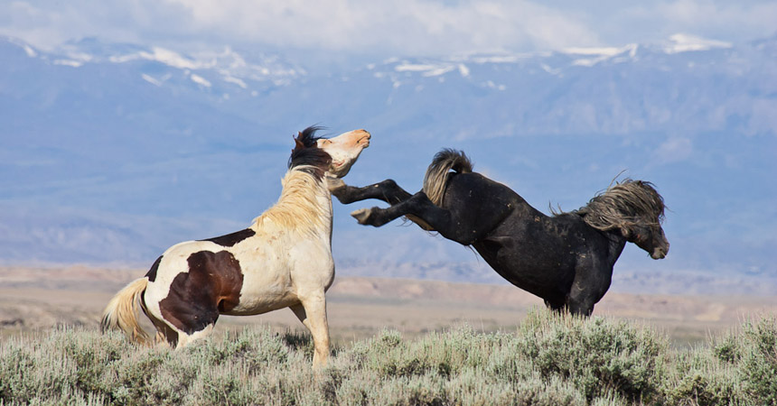 Fighting wild mustangs in Wyoming