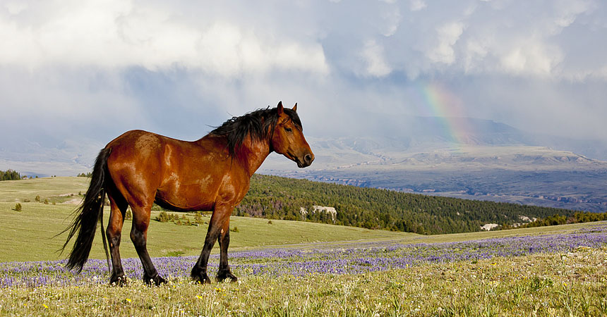 Wild mustang and rainbow