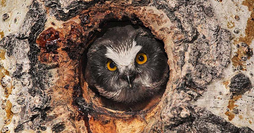 Saw-whet owl chick in nest cavity