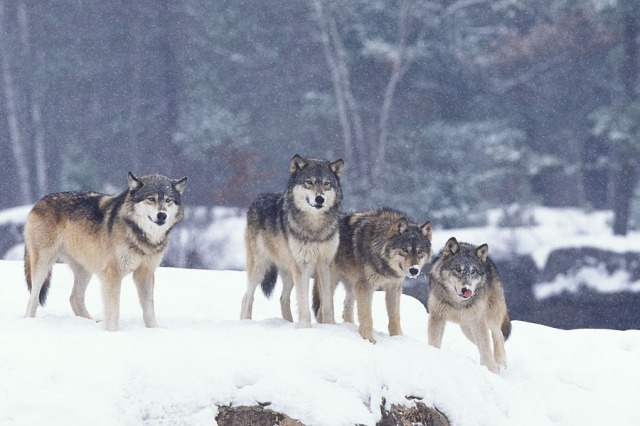 Wyoming Wolf Pack in Winter