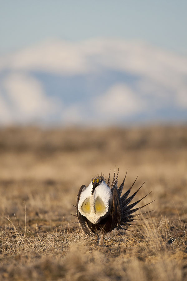 Sage Grouse along the Absaroka Front