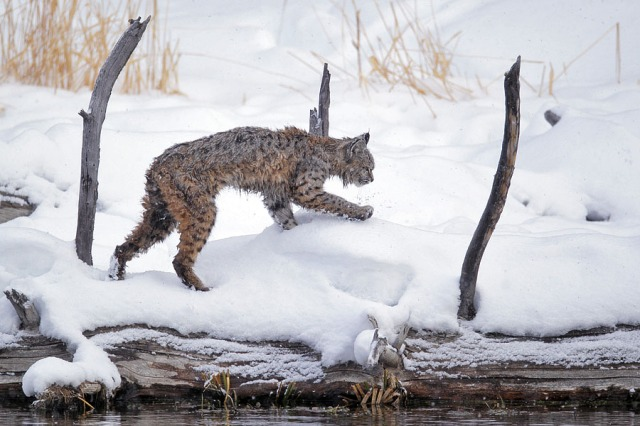 Bobcat on the Madison River