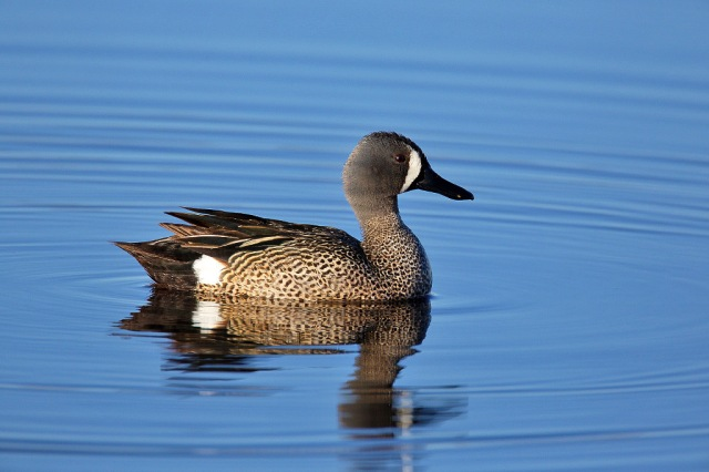 Blue-winged teal drake