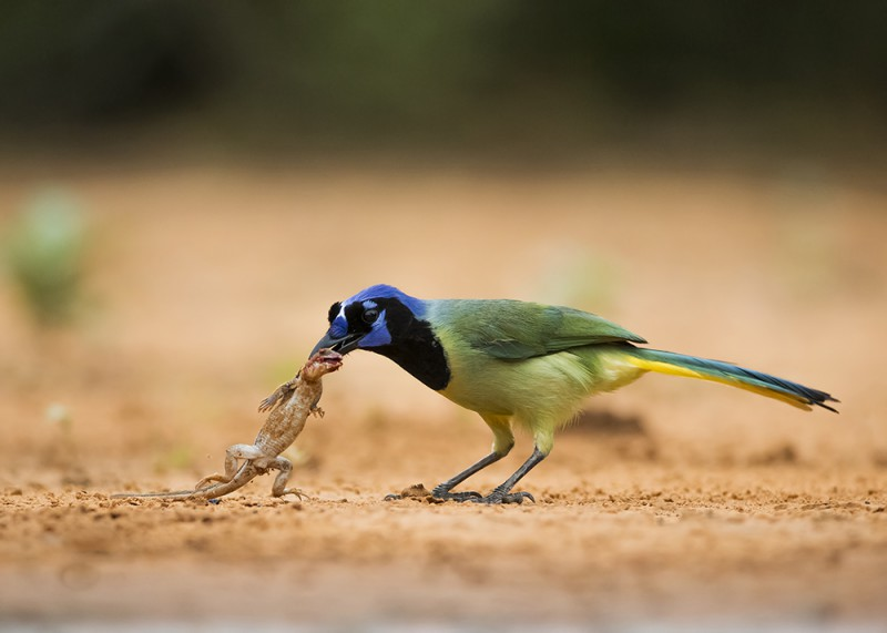 WJDL0691 Greenjay with Lizard 1000